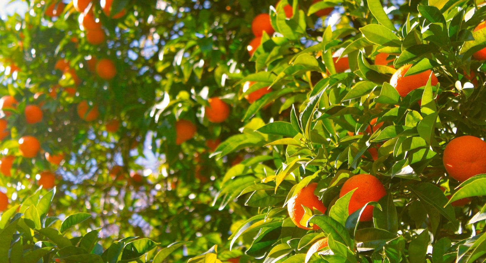 Costa Blanca är en del av Valencia, apelsinernas förlovade land.