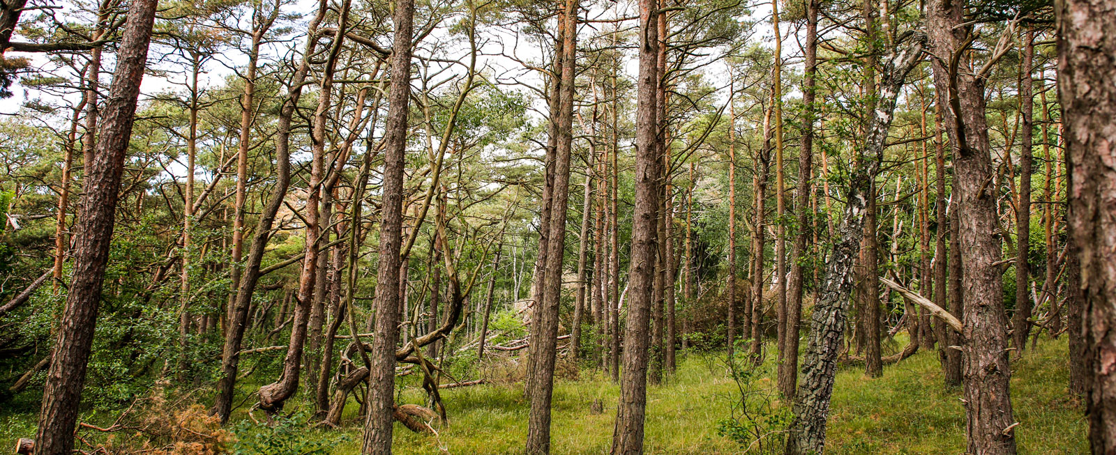 Tallskogarna är öppna, ljusa och träden växer i vindens riktning.