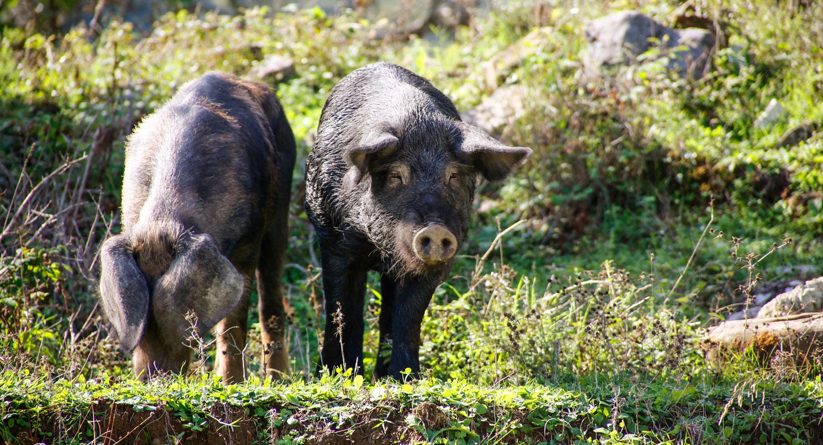 Man ser grisar i varenda by, djur som hjälper till att mota fattigdomen i dörren.