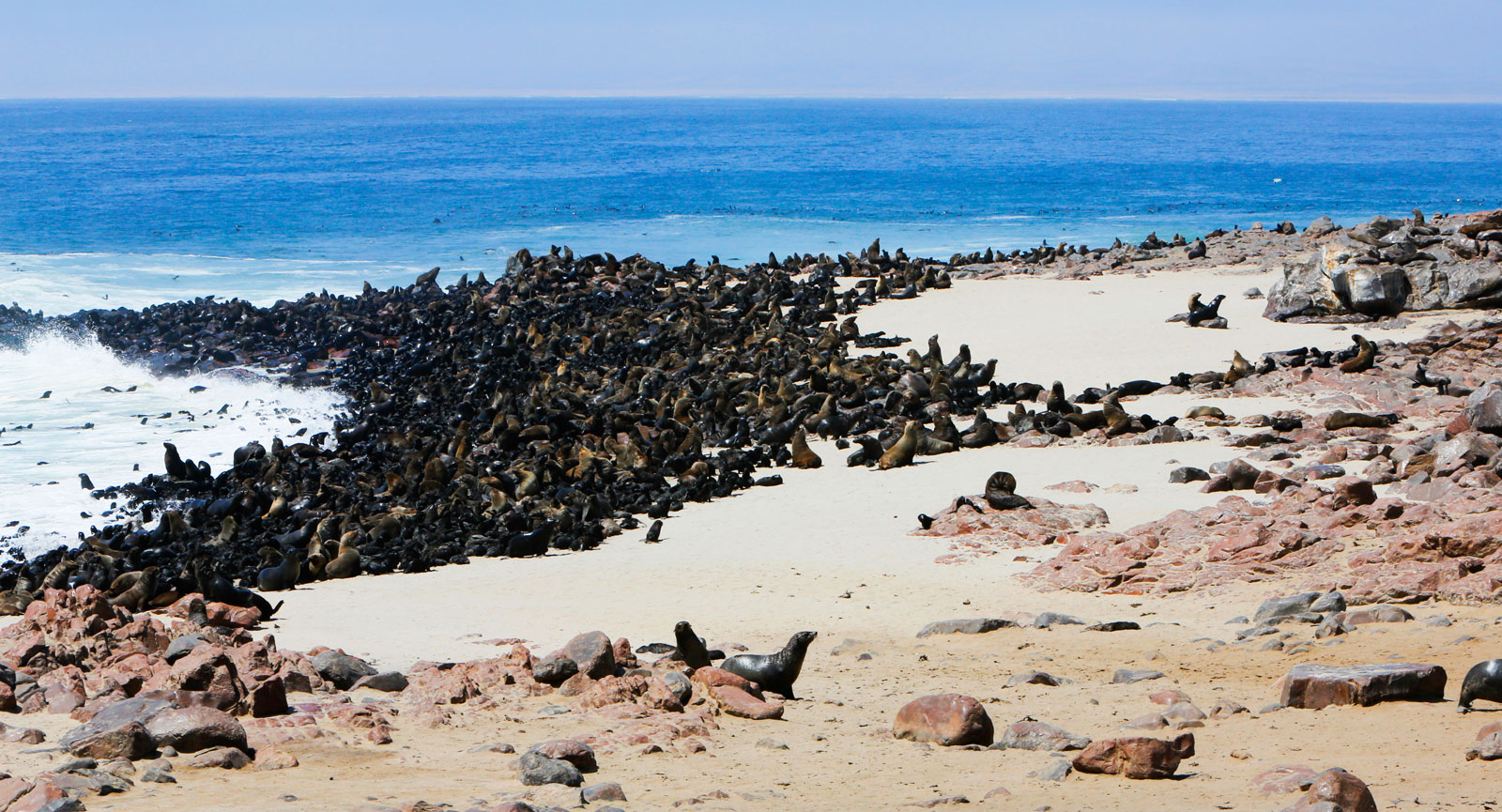 Cape Cross är ett fantastiskt landområde 12 mil norr om Swakopmund i Namibia där hundratusentals sydafrikanska pälssälar (Cape Fur Seal) går iland och föder sina ungar. Stanken är vidrig men synen imponerande.