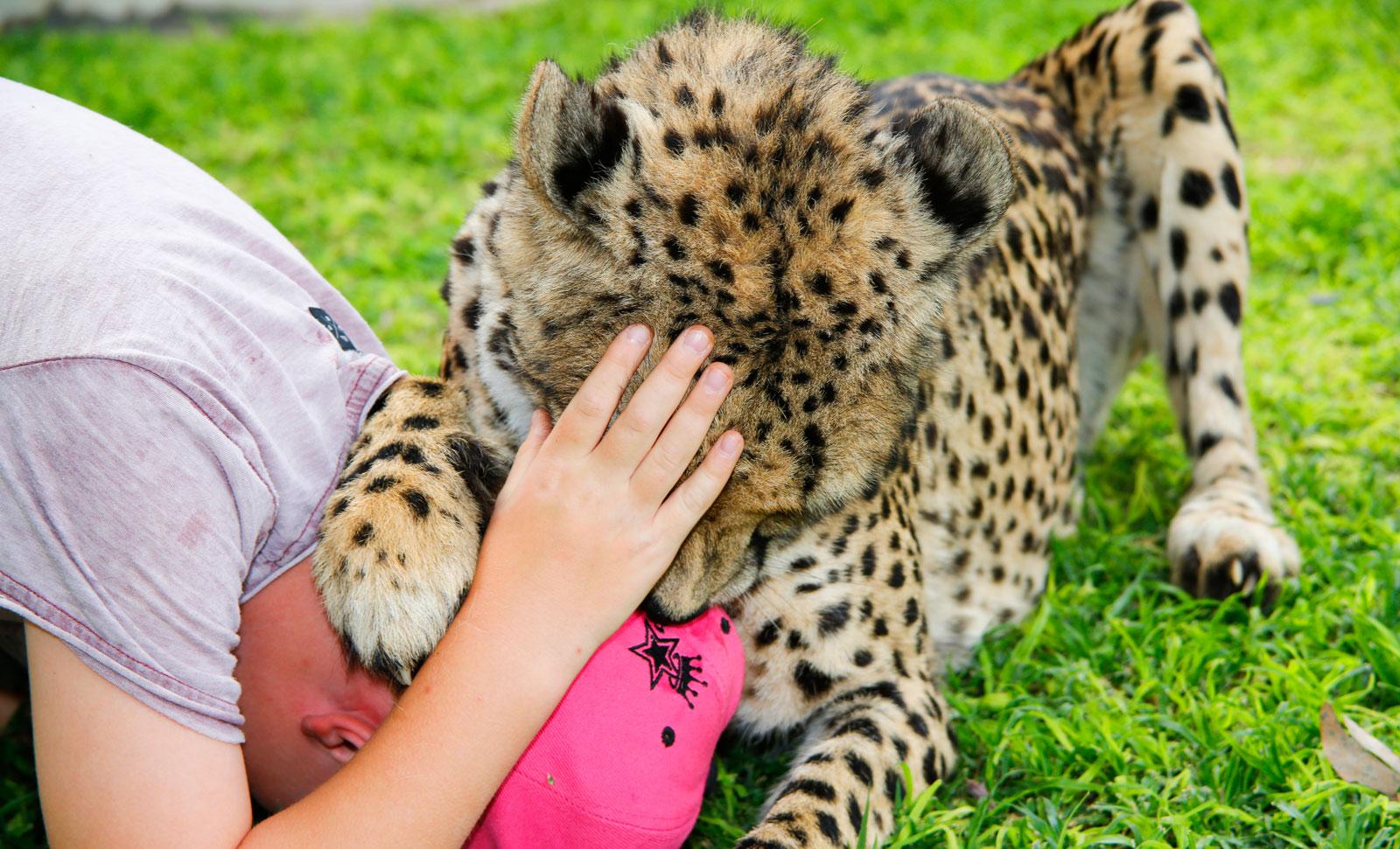 Busiga gepardungar tar effektivt kepsen från Kalle.