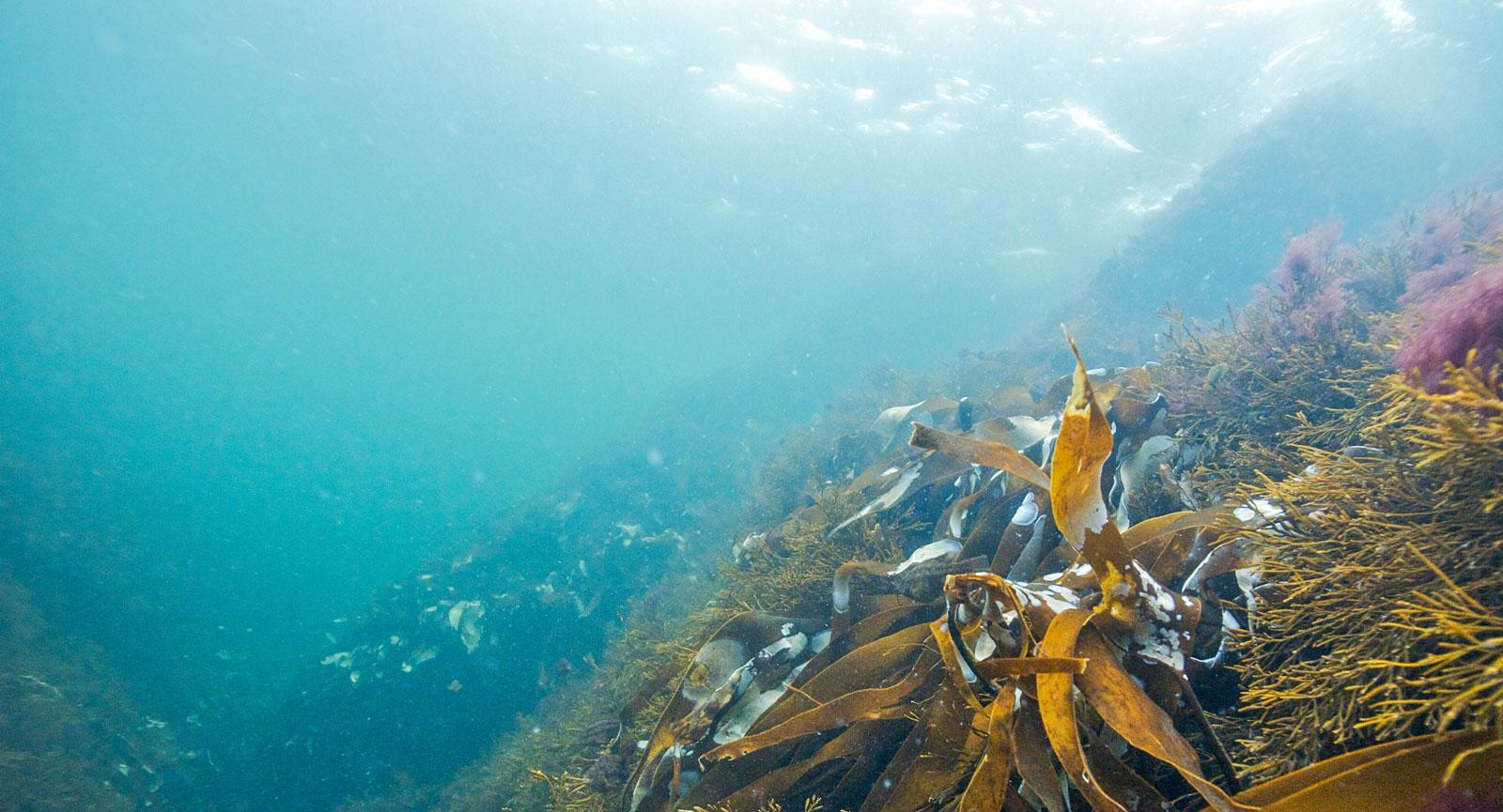 Undervattensskog med stora brunalger som vajar i vågorna. Foto: Lars-Ove Loo.