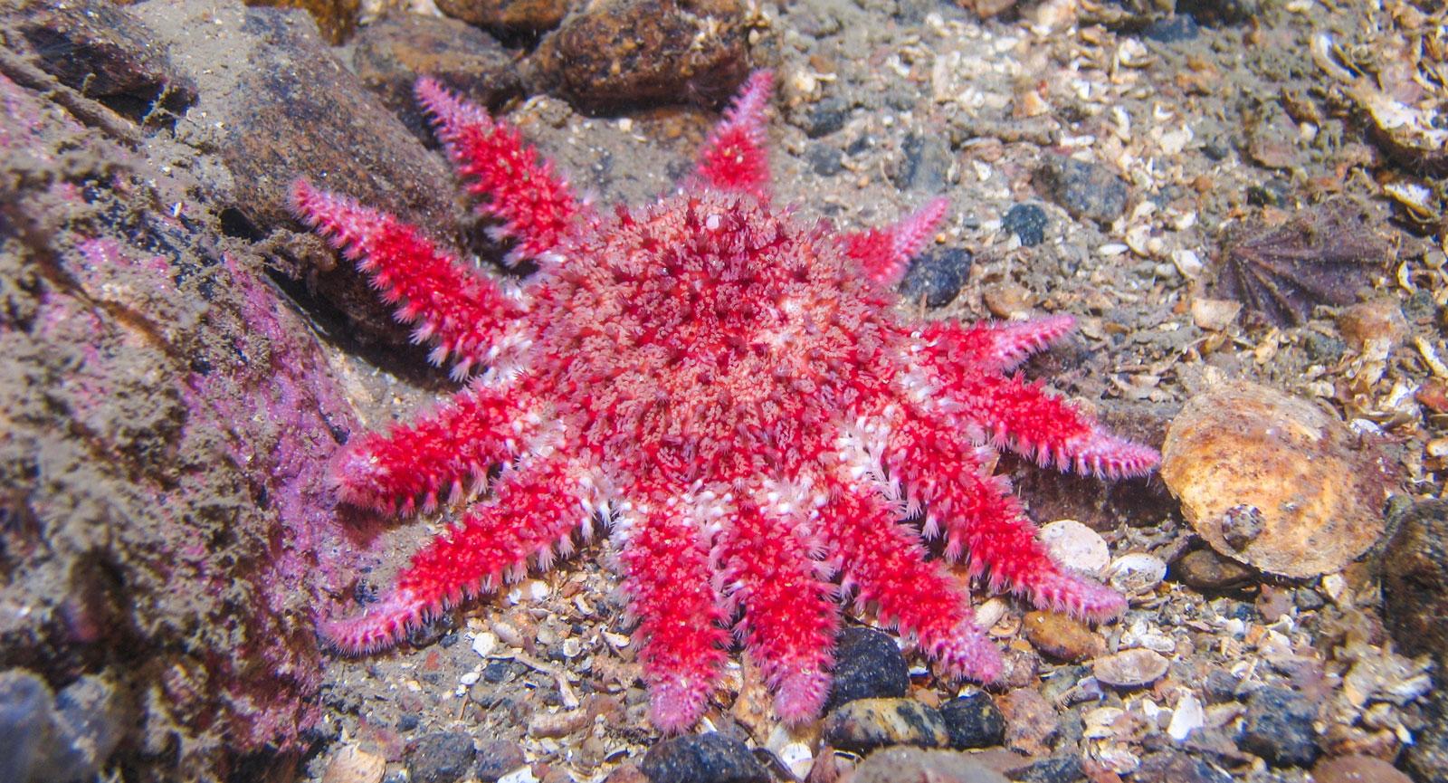 Röd Sjösol, Crossaster papposus. Kosterhavet.
