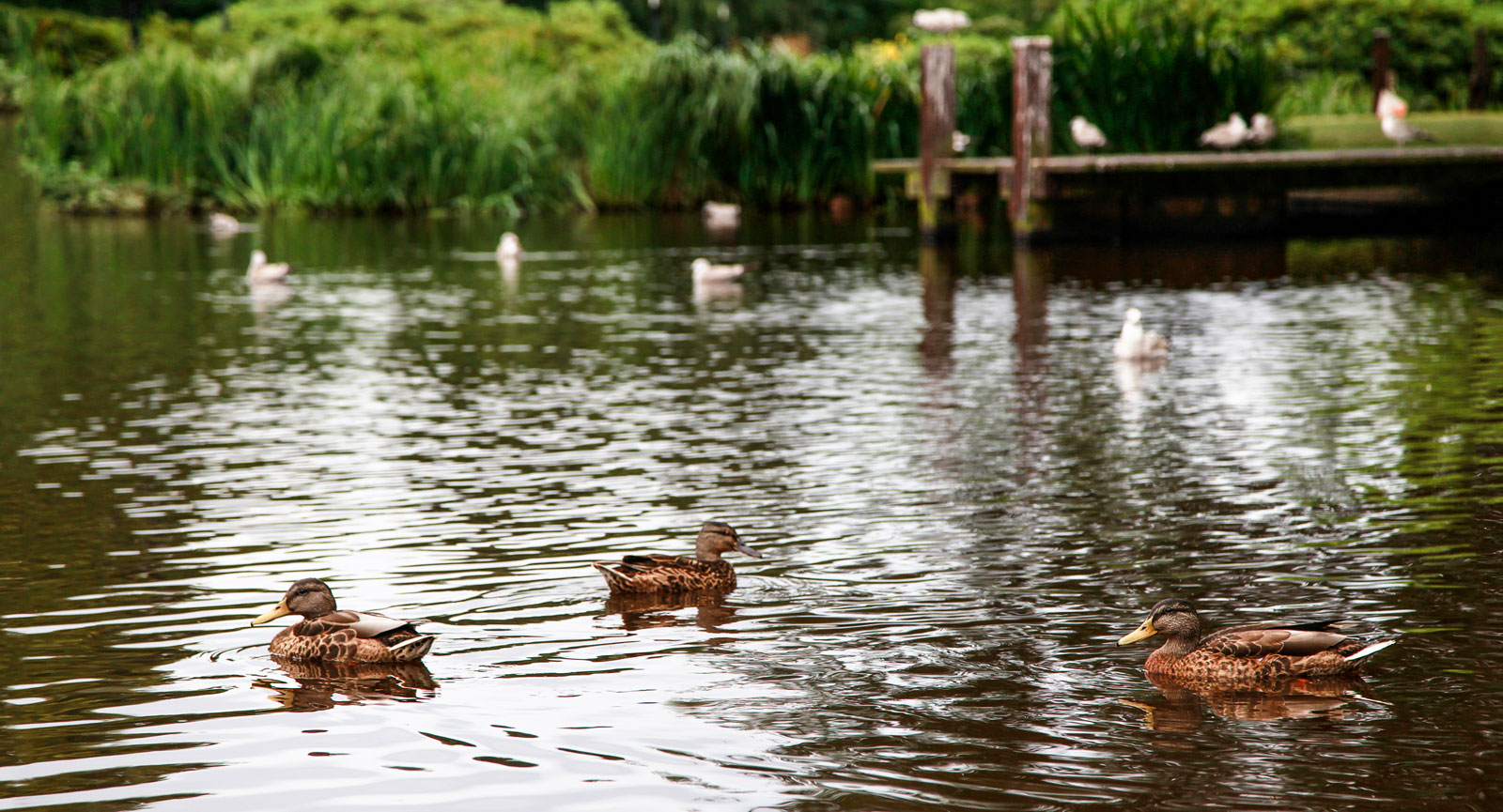 Flera gräsänder simmar i dammen närmast entrén.