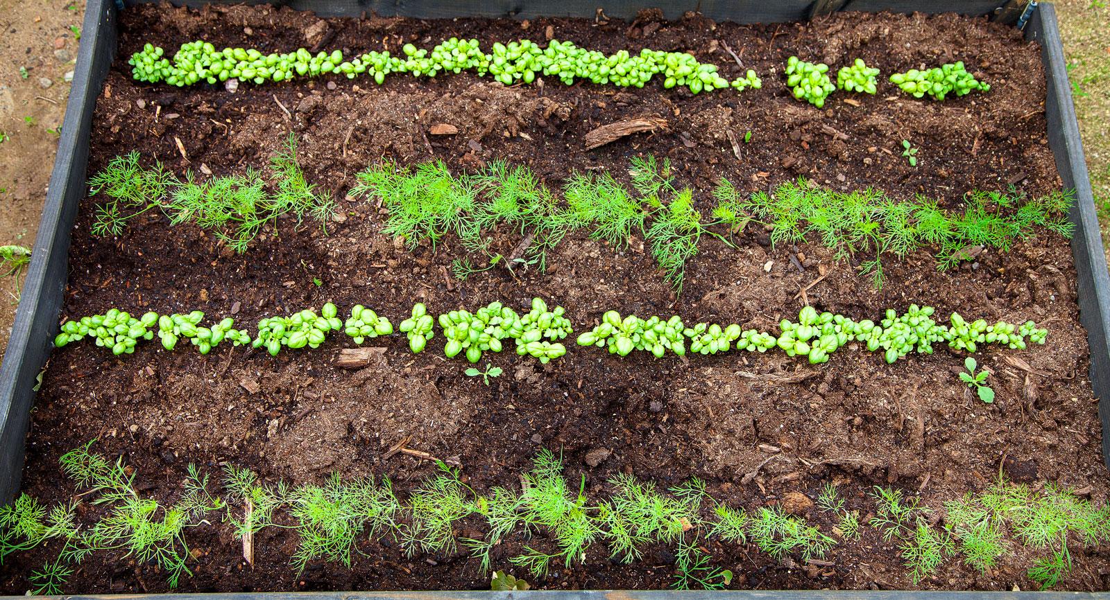 I prydliga rader växer morötterna och basilikan så det knakar.