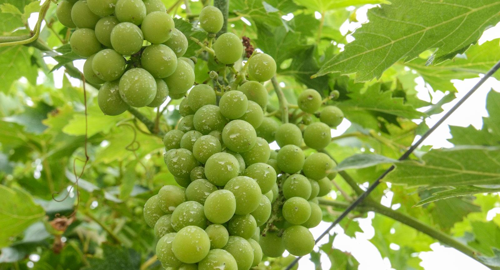Små druvor med mindre mängd vatten i sig ger smakfullt vin.