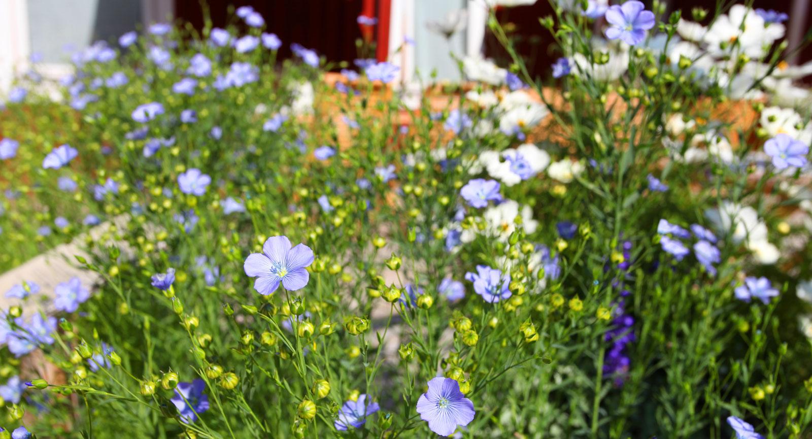 Blått välkomnande av blommande linblommor utanför Växbo Lin.