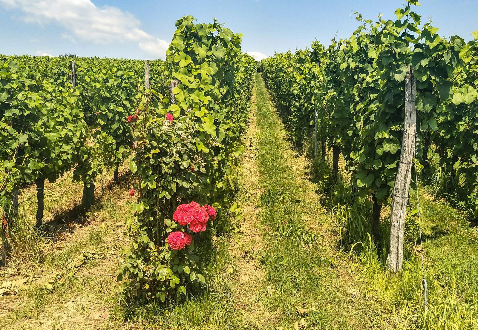 Wissembourg är en region med massor av vinodlingar.