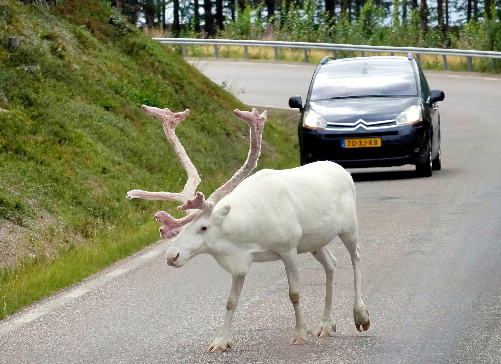 Enligt  samisk tro kan en vit ren komma med budskap. Kanske vill den tipsa om fiskemuseet i Tännäs?