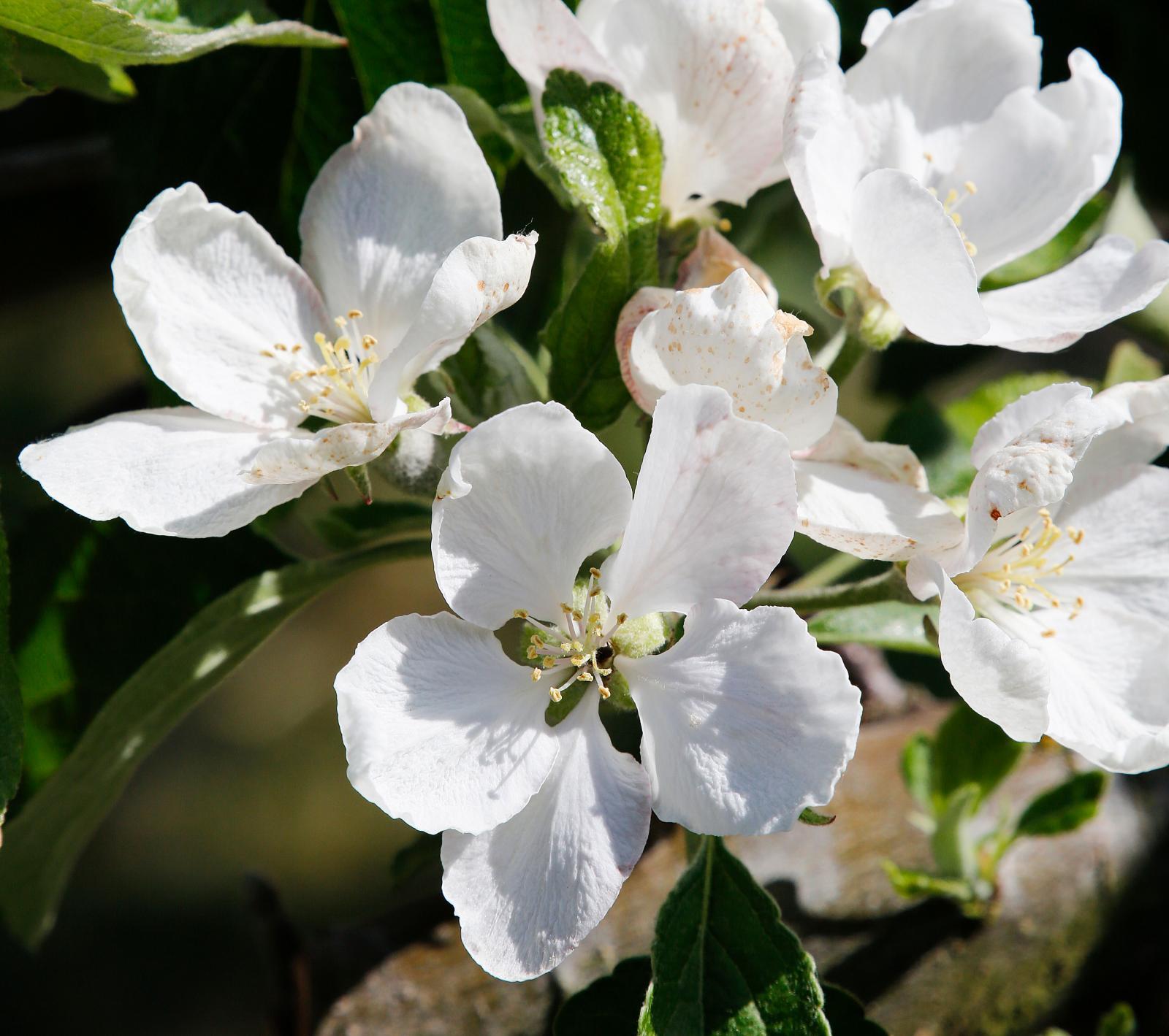 Sen blomning minskar risken för frostskador och ger bättre skörd.