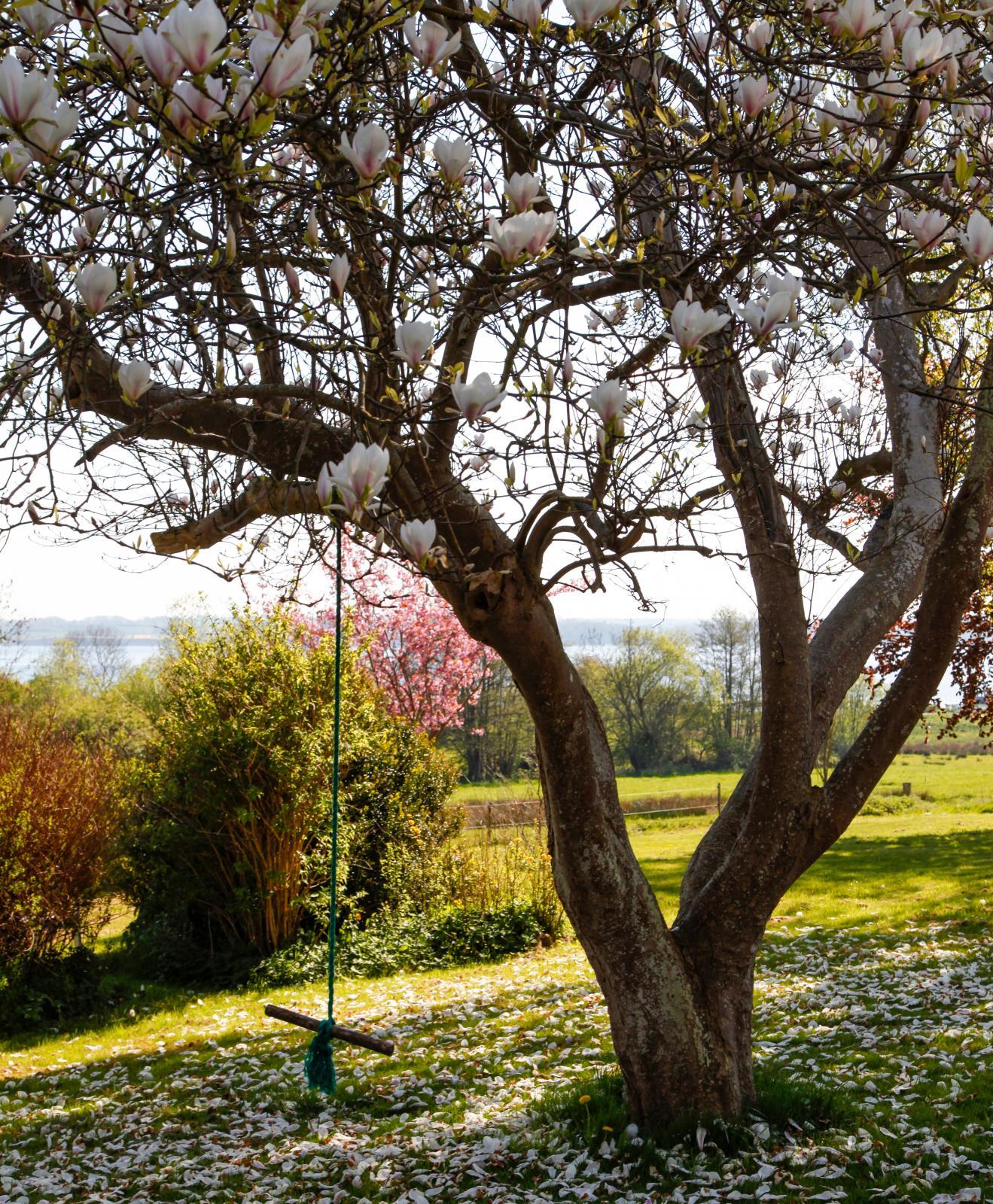 Ett vackert Magnoliaträd stod i full blom under vårt besök.