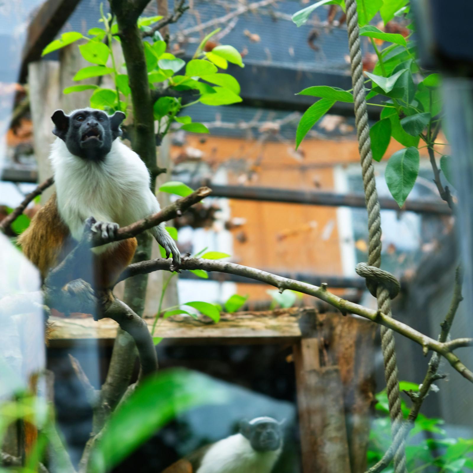 Apor finns det gott om, både utomhus och inne. Den här glade rackaren är en spindelapa.