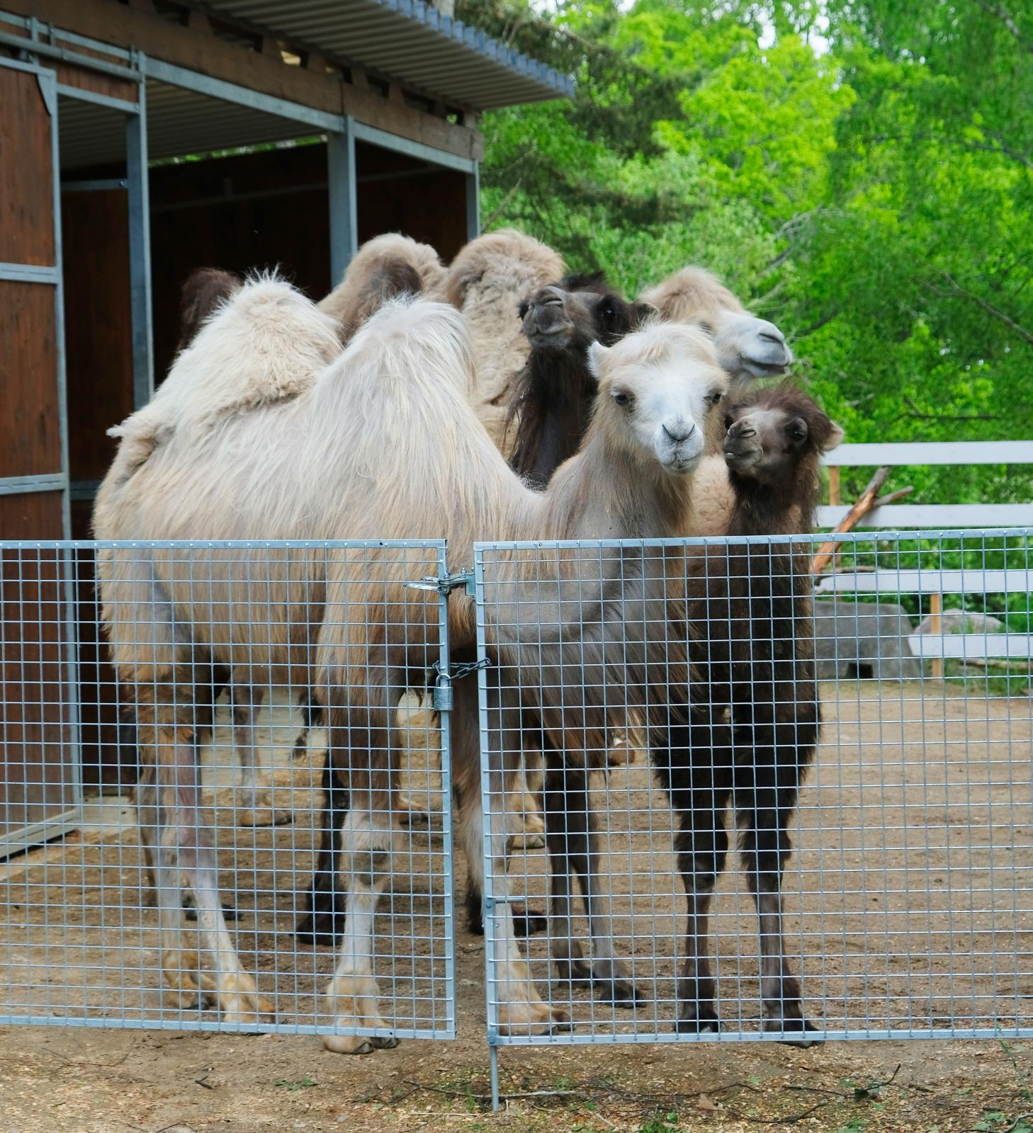 Kameler var det första som mötte oss i djurparken.