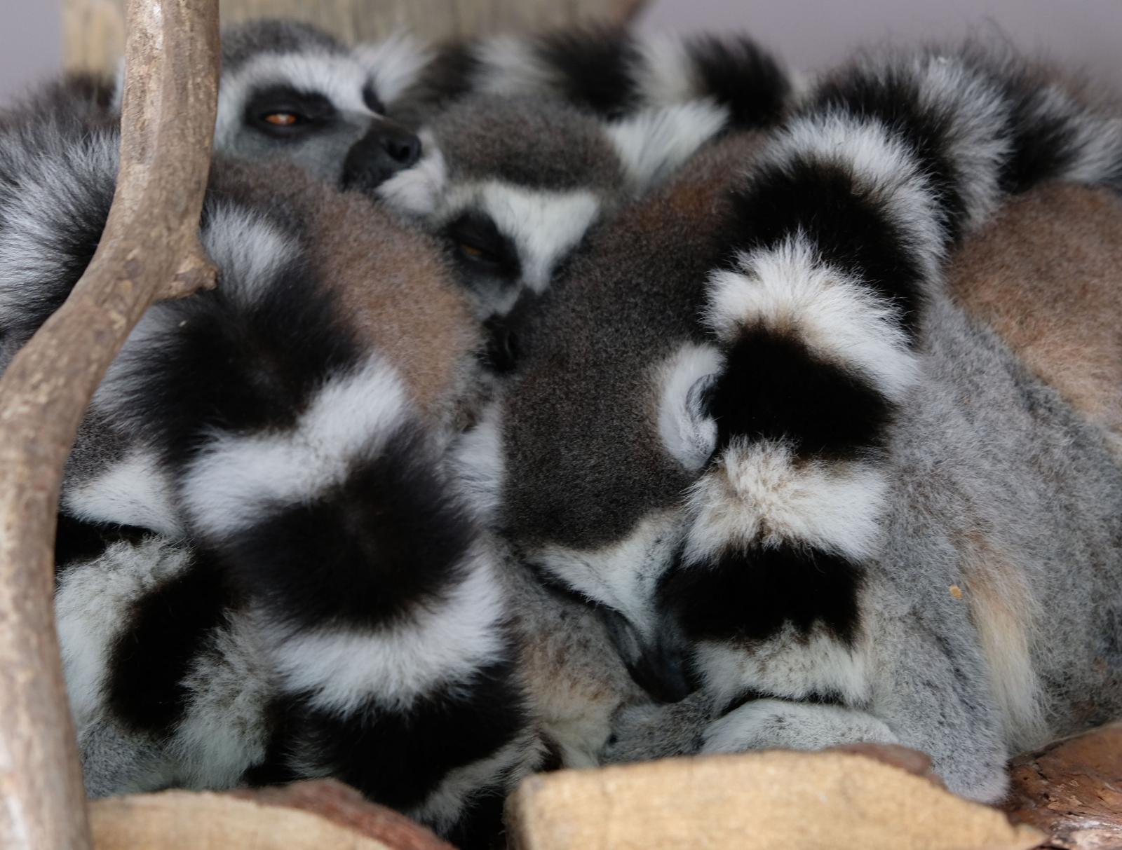 Lemurerna hade siesta under vårt besök. Hur många kan du räkna till?