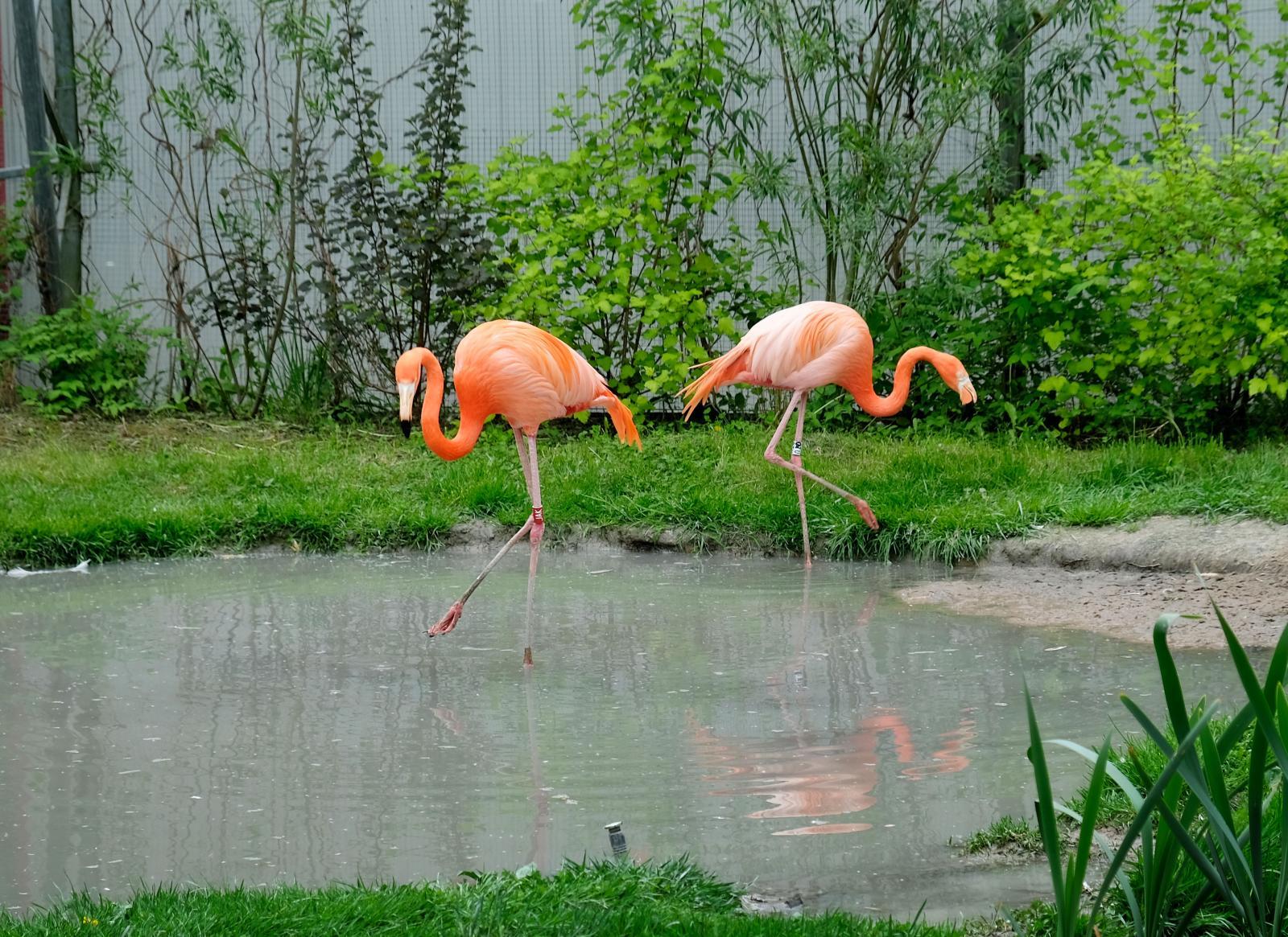 Ståtliga flamingos – skälet till varför vi valda att besöka Parken Zoo. Deras föda avgör deras färg.