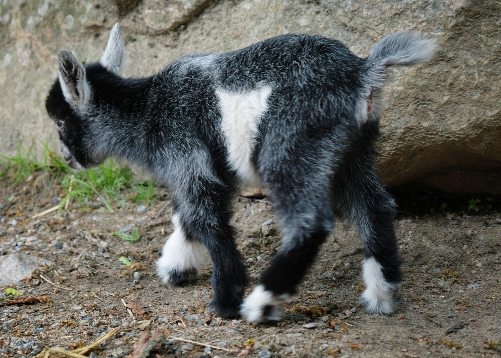Under försäsong finns kultingar och lammungar på Lilla Zoo.