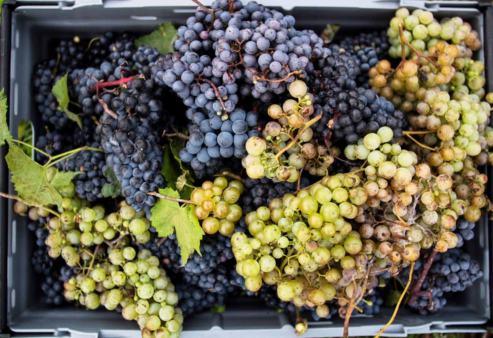 Resa: Svenska vingårdar