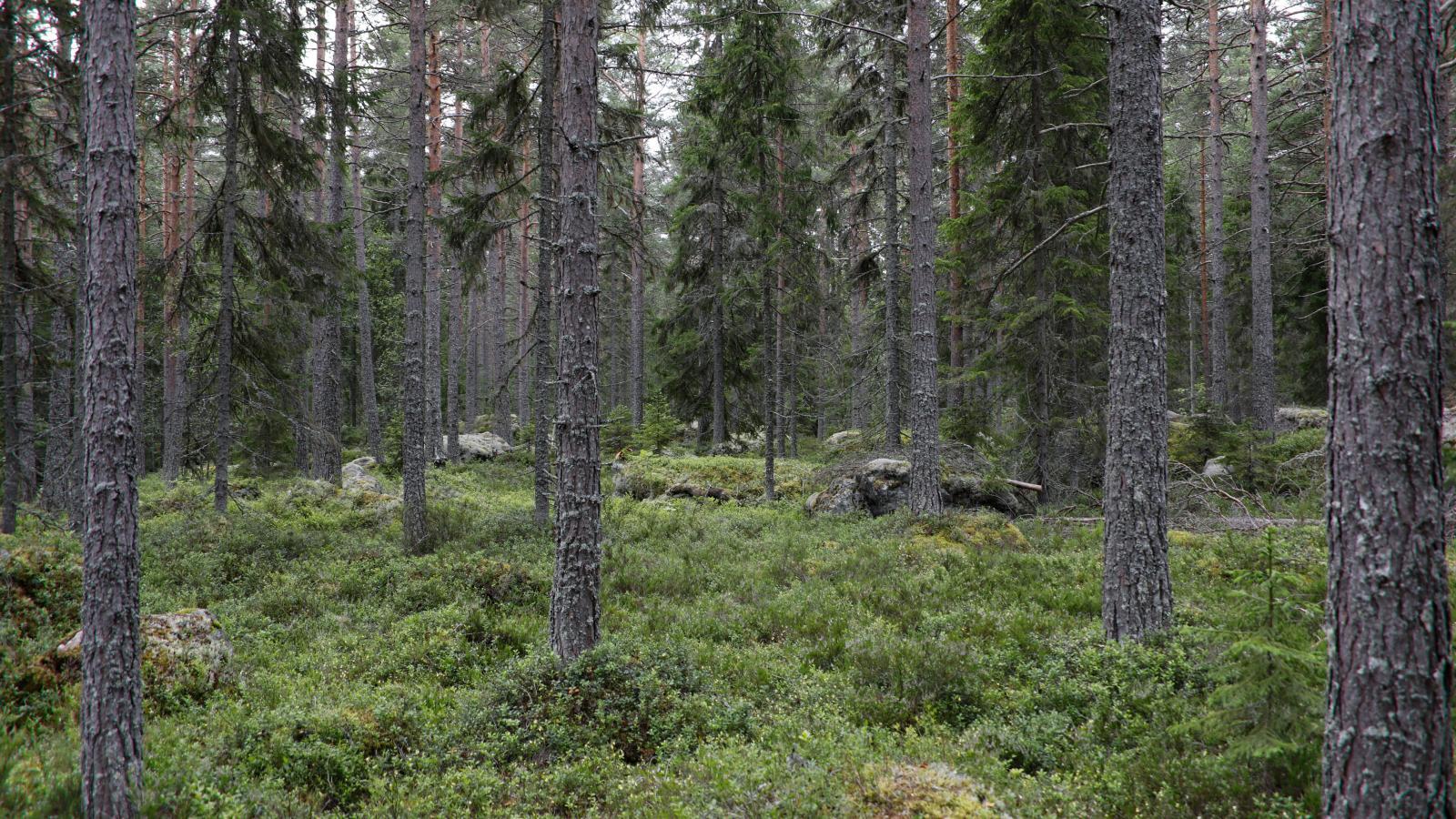 Skogen ger fina teatermiljöer i Trolska skogen.