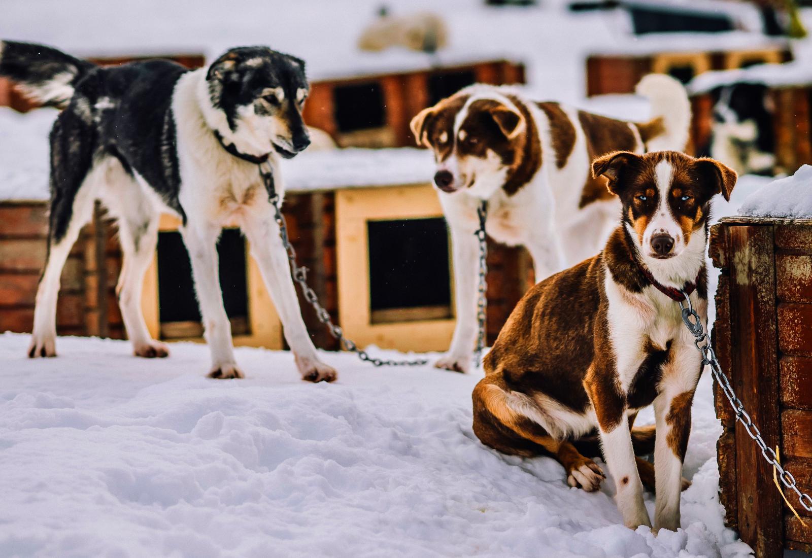 300. Så många alaskan huskys bor på Tromsö Vildmarkscenter.