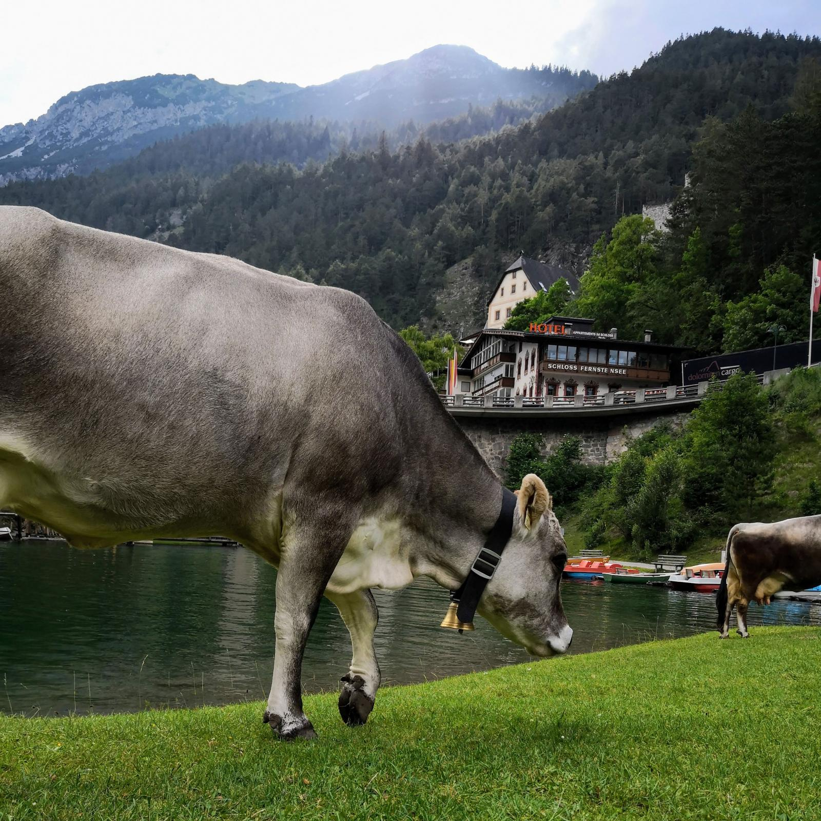 Tyrolens pärla. Är det månne denna vackra ko som stått modell för chokladvarumärket Milka? Likheten är i vart fall slående.