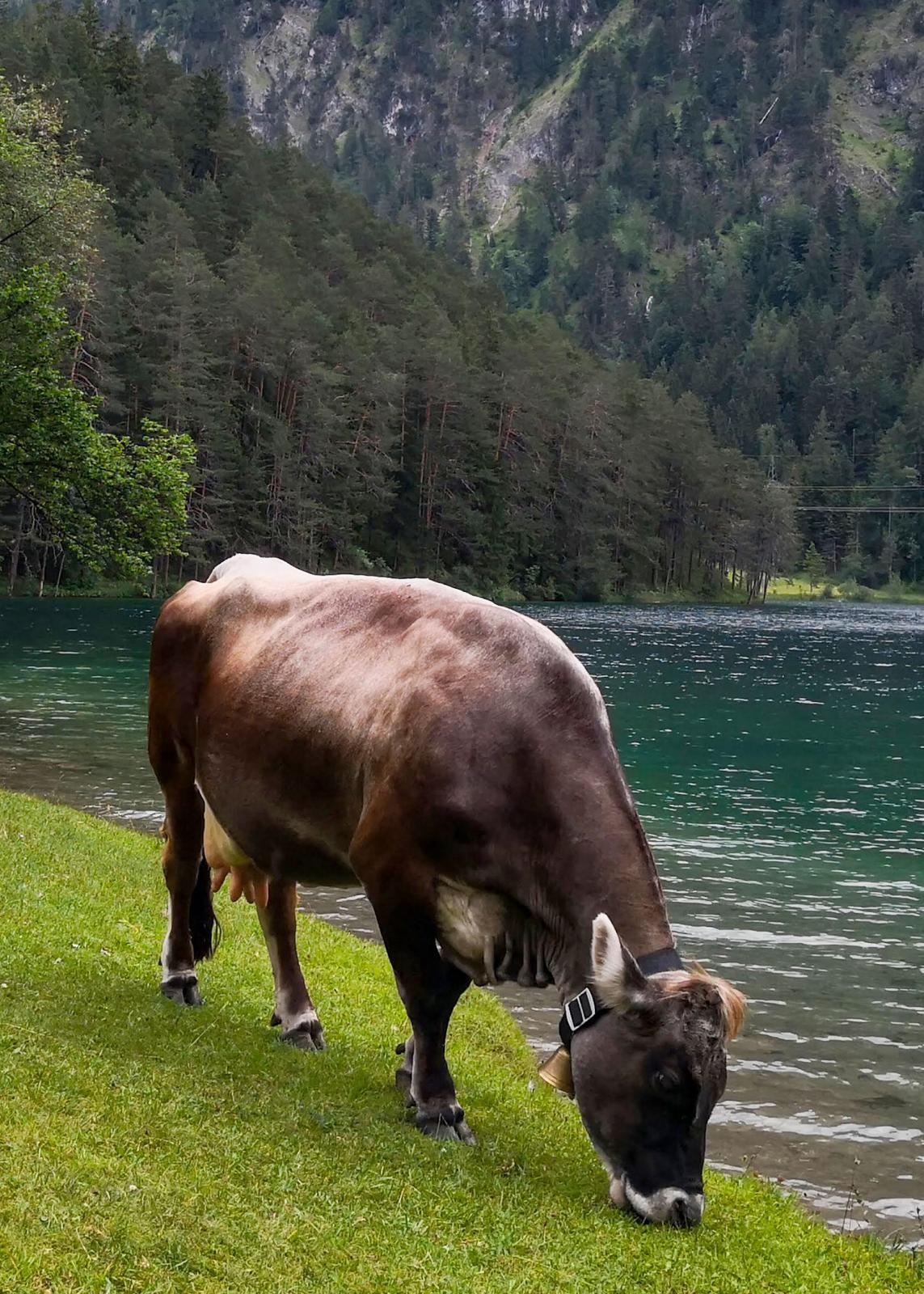 Betande kor vars halsbjällror talar om att vi befinner oss i Alperna och inte på en strand i Rio.