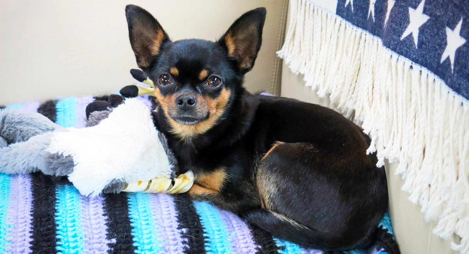 Vakthunden Chillie håller eventuella inkräktare borta från familjens gemensamma koja.