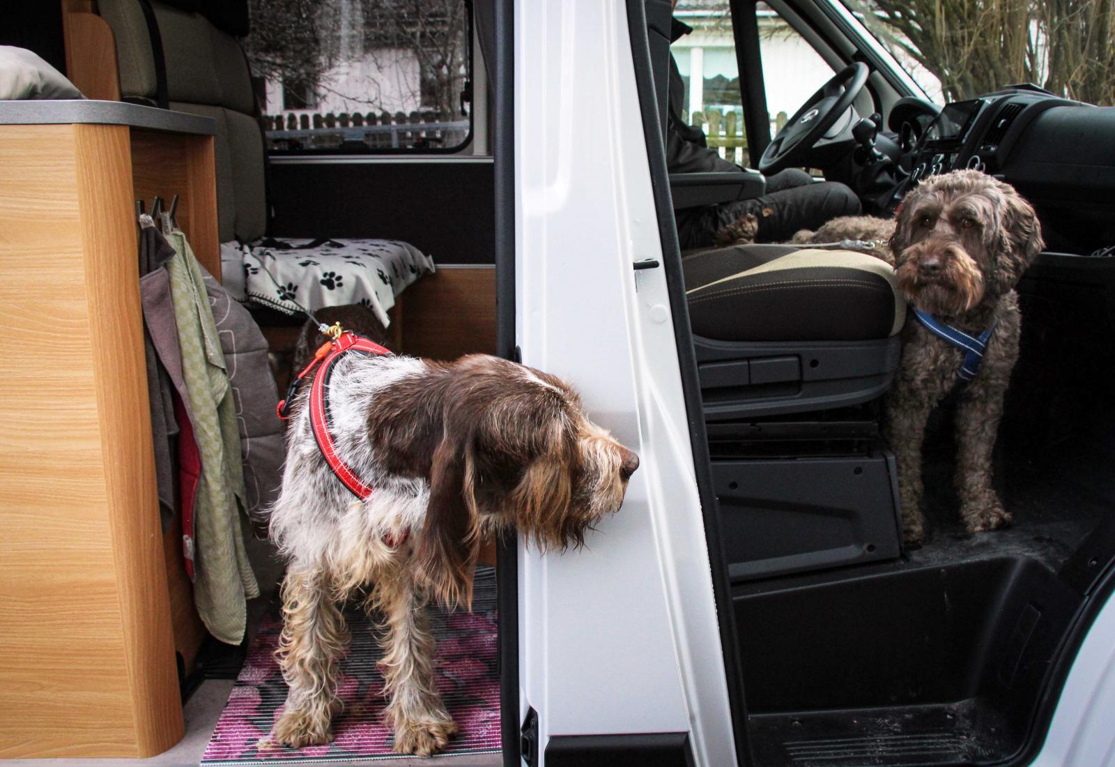 Sommartid har hundarna både fläkt och kylmatta i husbilen.