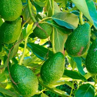 Smörgås med avocado, grädde och stenbitsrom