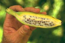 Banan, världens största ört