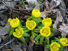 När rabatterna börjar lysa i gult vet man att den riktiga våren inte är långt bort