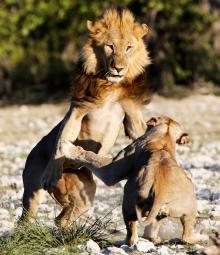 En irriterad lejonhona jagar bort en närgången hanne som snabbt backar undan. Här i Etosha National park.