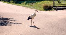 En stork på campingen i Eguisheim.