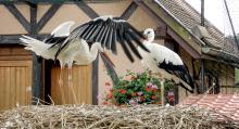 En gång var storken utrotningshotad, idag är storken tillbaka efter ett omfattande avelsprogram.