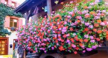 Överallt hänger blommor i lådor utanför husen. Flera av byarna i Alsace har utsetts till Frankrikes vackraste.