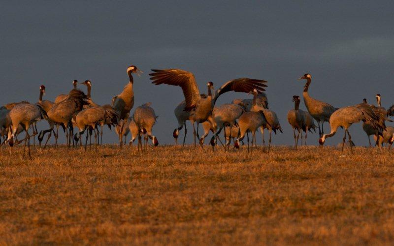 Tranextra: se bildspel från årets fågelgäng runt Hornborgasjön
