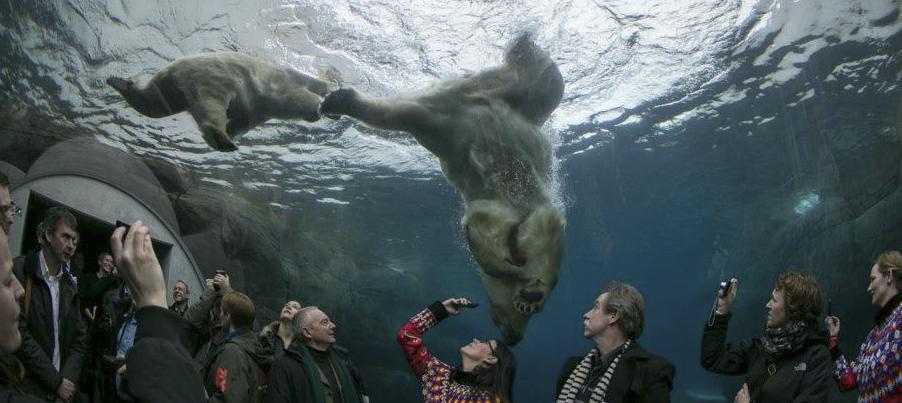 Isbjörnar i Danmark - Ny attraktion på Köpenhamns Zoo