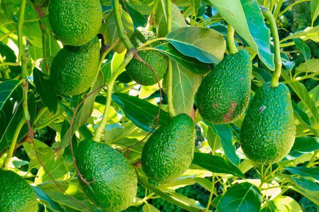 Vad är en Avokado egentligen