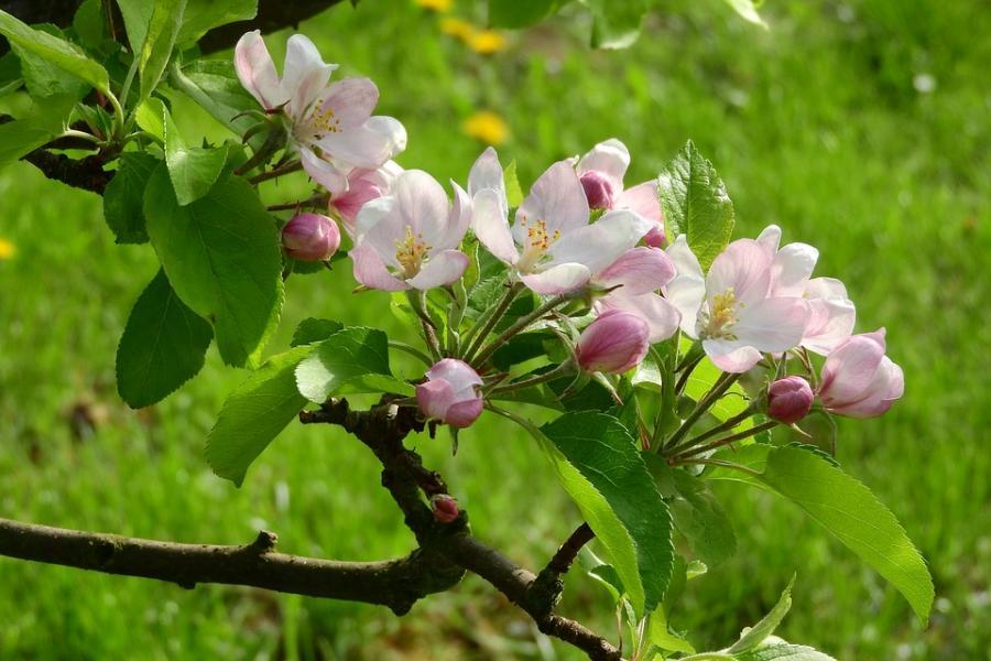 Nu blommar äppelträden på Österlen