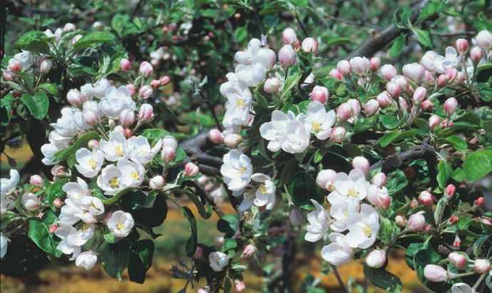 Våren på plats när Kiviks Musteri kör äppelblomssafari