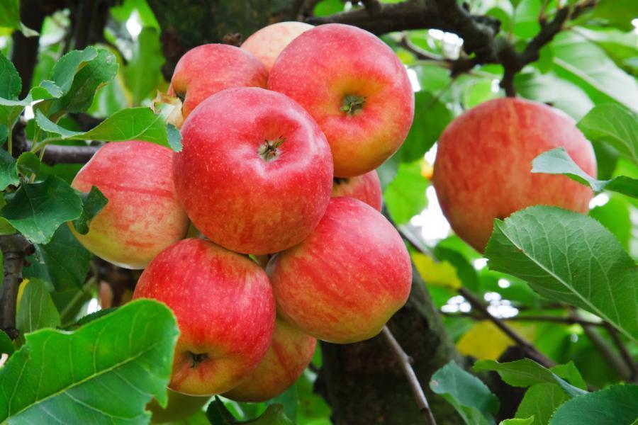 Snart dags för Kiviks äppelmarknad