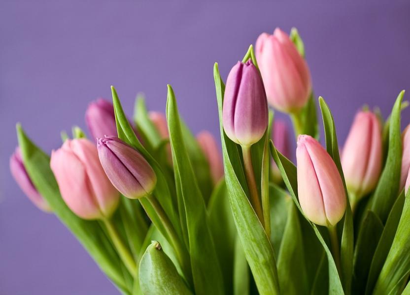 Tulpanens dag idag är första vårtecknet