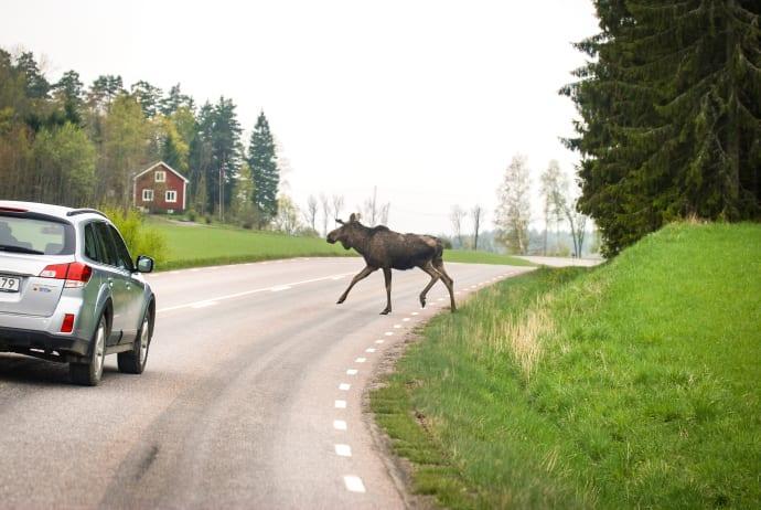 Jakten leder inte till fler älgar på vägarna
