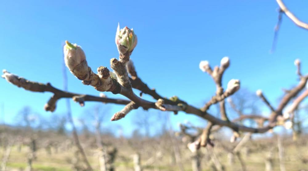 Vår i luften och äppelträden knoppas