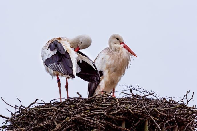 Storkarna hälsar våren välkommen