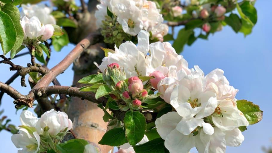 Nu blommar äppelträden i Kivik