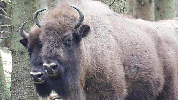 Har du tur så kommer du så nära så att du kan se bisonoxarna så här med ett lätt teleobjektiv