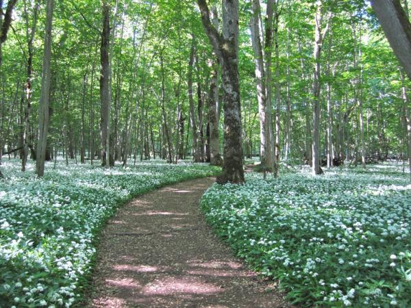 I början av juni är det så här vackert när ramslöken både blommar och doftar. Men innan dess kanske du har tur att hitta något av presentkorten med ett totalbelopp på 100 000 kronor.