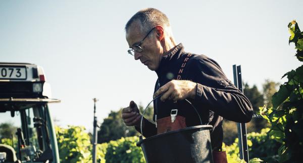 Ingvar Svensson skördar druvor på Ästad Vingård.