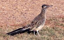 Road Runner, originalet, Geococcyx californianus