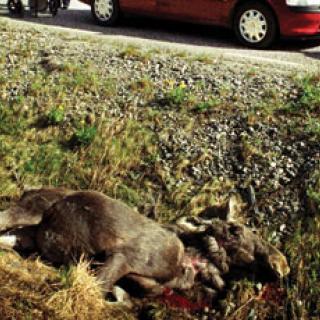 Rekordmånga viltolyckor
